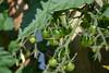 Tomatoes (petrusko.rm) Tags: plant green tomato nikon d5200