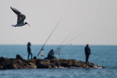Fishing Lessons (Andrea LD) Tags: sea canon eos fishing fisherman bokeh seagull 7d l usm 70200 ef f4 70200mm