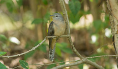 Brush Cuckoo (adult) (stan_dea) Tags: bird nature australia brush cuckoo minolta300f4 sonya77