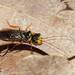 Pine-feeding Webspinning Sawfly  (Hymenoptera, Pamphiliidae)