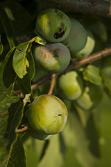 persimmon_southwest research center_0004 (CAFNR) Tags: tree fruit grove orchard mizzou crop horticulture universityofmissouri cafnr collegeofagriculturefoodandnaturalresources southwestresearchcenter