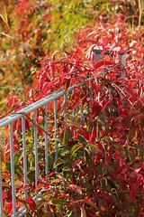 Fence (gripspix (catching up slowly)) Tags: nature metal fence natur autumncolors zaun bostonivy metallzaun herbstfarben wilderwein parthenocissustricuspidata 20130921