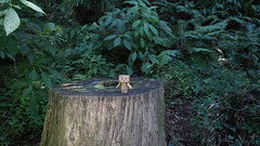 danbo at Rows of Cedar Trees in Moto-Hakone (*Cerin) Tags: hakone cedartree danbo motohakone danboard