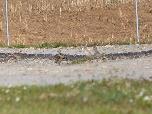 AmGoldenPlovers4of16_doc