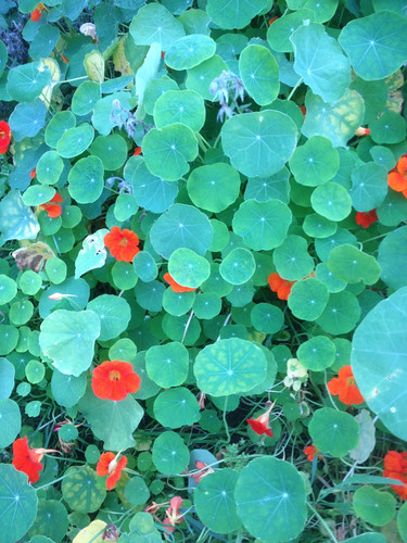 End of the nasturtiums