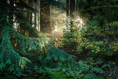 Forêt de Soignes (Philippe Clabots (#PhilippeCPhoto)) Tags: brussels nature belgique bruxelles arboretum forêt brume matin flandres tervueren soignes forêtdesoignes bernardf