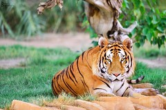 A tiger |  (iBaraa) Tags: portrait animals 5d d3 d5 d800 d4    d90      d4s d3x  d7100 d4x  d3s  d7000 d800e  uploaded:by=flickrmobile flickriosapp:filter=nofilter