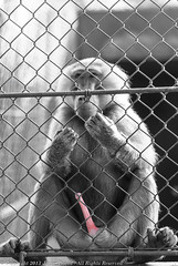 D3000-01424-screen (JD-UY) Tags: bw animal sex gardens uruguay jaula zoo monkey mono jardin cage sexo prison jail boner erection frustration unhappy prision durazno ereccion carcel preso zoological zoologico infeliz enjaulado frustracion