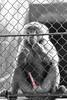 D3000-01424-screen (JD-UY) Tags: bw animal sex gardens uruguay jaula zoo monkey mono jardin cage sexo prison jail boner erection frustration unhappy prision durazno ereccion carcel preso zoological zoologico infeliz enjaulado frustracion