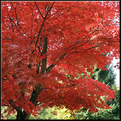 red rules (mhobl) Tags: autumn red tree green rot fall herbst grün baum