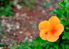 Orange: Hibiscus w/bokeh (zendt66) Tags: orange nikon bokeh hibiscus theme weekly challenge d90 zendt66