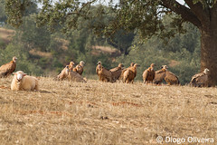 Grifos (Diogo O. (TheRocky41)) Tags: wild naturaleza bird portugal nature birds animal animals fauna photography europe wildlife natureza birding feathers nat birdsinportugal avesemportugal natura aves national ave bbc planet animales vulture animaux geo animais birdwatching animalplanet geographic avesdeportugal animalia wonders avian oiseaux nationalgeographic avifauna grifo birdwatcher naturephotography selvagem gyps natgeo penas vidaselvagem gypsfulvus griffonvulture wildlifephotography biodiversidade birdsfromportugal wildwondersofeurope therocky41 therocky41photos