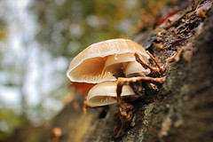 Porcelain fungus is specific to dead tree like trunks (Bn) Tags: wood autumn trees holland tree nature netherlands leaves forest walking carpet oak bomen topf50 hiking branches magic herfst reserve atmosphere hike fungi trail magical topf100 oud beech eng hardwood paddestoel wandeling discover erect huizen branche naarden utrechtse heuvelrug oudemansiella mucida porseleinzwam bosrand gracefully valkeveen no7 tapijt natuurreservaat schimmels collybia zwammen 100faves 50faves beukenboom vogelreservaat ringslang bouwland goois naarder 36km waterkeringpad eikenhakhoutbos