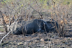 Kruger National Park -  Rhinos (OurPhotoWork) Tags: travel southafrica wildlife safari rhino krugernationalpark kruger gamedrive africansafari africasafari krugernp travelplanet ourphotowork sa2013