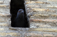 Pigeon @ Vatican Wall (Kabilan Kamaraj) Tags: vatican birds pigeon wildlife