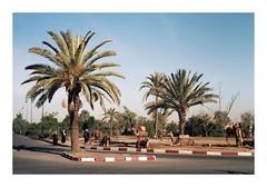 (Santi Garcia (Santintheworld)) Tags: film analog 35mm palms camel morocco marrakech canonae1 kodakportra400