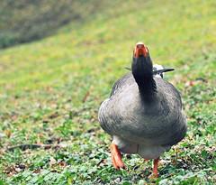 Monday Face (SpitMcGee) Tags: hessen attack goose gans explore bensheim angriff mondayface montagsgesicht spitmcgee staatsparkfürstenlager