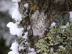 Crustose lichen and other lichens on balsam poplar tree (A Really Small Farm) Tags: snow nature minnesota bark lichen crustoselichen crustose balsampoplar apothecia graylichen carltoncounty lecanora lichenonbark garywalton lichenontree