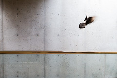 Pigeon (boingyman.) Tags: boingyman