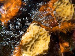 knobby anemone (nervous system) Tags: fish coral anemone algae bonaire windsock lettucecoral knobbyanemone ragactislucida