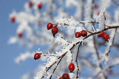 Winter berries (Petr Vorobyev) Tags: winter snow canon eos berries ngc 5dmarkii canonwinter blinkagain bestofblinkwinners blinksuperstars