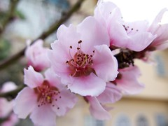 Flores de Durazno (McMexicano ) Tags: flower nature canon flor peach powershot durazno g16 peachflower flordeldurazno guillermobuelna