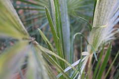 shades of grey... (Baja Juan) Tags: new trees green silver wednesday garden happy grey fan mediterranean european texas dof bokeh palm baja emerging fronds hbw