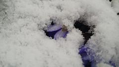 Detta Är Också Vår (auzgos) Tags: anemone blomma snö var vår blå nobilis hepatica blåsippa bakslag fotosondag fs140323