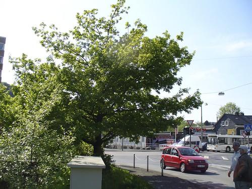 Diese Eiche muss dem neuen Kreisverkehr in Eiserfeld weichen.