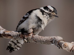 The Wind Blown Look (Diane Marshman) Tags: red white black male nature birds woodpecker head pennsylvania wildlife beak feathers spot pa northeast downy