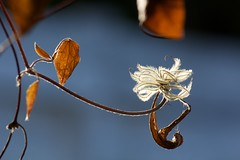 Weightless (sheepvsgravity) Tags: old blue light brown white flower fall leaves dead leaf glow fluff hanging fuzz