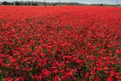 Campo teñido de rojo (Carlos Javier Pérez) Tags: primavera nikon tokina poppy poppies silvestre amapolas amapola alergia papaverrhoeas nikond90 campodeamapolas tokina1116 fanaerógamas