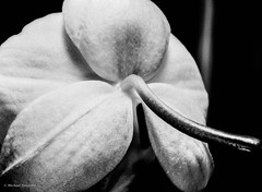 petals (mfauscette) Tags: blackandwhite stilllife orchid flower mediumformat petals flim ilfordpanfplus50 mamiya645protl mamiyasekormacroc80mm