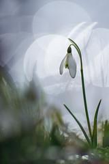 Le perce neige (Thomas Vanderheyden) Tags: flower nature fleur 50mm flora pentax ngc pentacon f18 snowdrop vegetal flore picardie galanthusnivalis naturesfinest beautifulearth perceneige thomasvanderheyden tomtomphotography picartnature