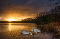Swans at Sunrise (kidda63) Tags: