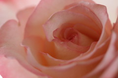 Rosy (asma_elgamal) Tags: pink flowers flower detail macro beautiful rose petals soft pretty gorgeous peach valentine valentines layers blush bouqet rosy