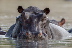Youd better be gone ... (Thomas Retterath) Tags: africa travel animals canon tiere wildlife urlaub ngc lagoon safari afrika hippo hippopotamus botswana mammals allrightsreserved herbivore 2014 flusspferd hippopotamusamphibius sugetier 600mm hippopotamidae pflanzenfresser kwando 20tc canoneos7d thomasretterath canonef300lis28usm copyrightthomasretterath