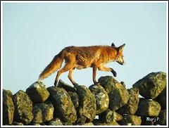 Mrs Fox (marj.p. (Catching up!!)) Tags: morning nature field scotland earlymorning fox fujifilm stonewall dumfriesandgalloway ontheprowl foxcubs hs50 femalefox fujifinepixhs50 marjp