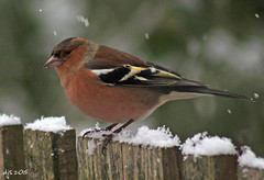 Chaffinch In Snow (Dave Snowdon (Wipeout Dave)) Tags: birds wildlife britishwildlife chaffinch gardenbirds ukwildlife wipeoutdave canoneos1100d davidsnowdonphotography djs2015