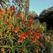 Aloe Blooming