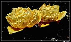 51-les jumelles - per te !... (gio.dino3) Tags: roses macro fleur rose sony rosa giallo fiore jumelles giodino3