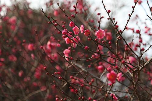 梅の木香る