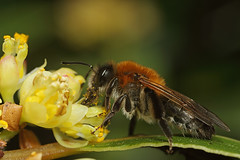 Female miner bee feeding on bay tree flower (Lord V) Tags: macro bug insect bee andrena minerbee