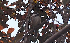 Plum Tree 20140722 (caligula1995) Tags: dusk chickadee plumtree 2014