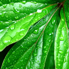 Wet Wet Wet (vertblu) Tags: macro green monochrome leaves droplets drops spring vert peony fresh diagonal greens raindrops waterdrops makro springtime macromode heavyrain freshgreen 500x500 leafpatterns colorfulworld vibrantgreen lushgreen justleaves verdurous macromondays cmwdgreen peonyleaves vertblu