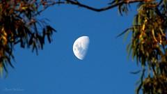 Moon & Eucalyptus (Teutonic01) Tags: moon eucalyptus gumtree southaustralia