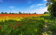 Milan in red 2 (Fil.ippo) Tags: red milan field landscape milano poppy campo hdr filippo papavero d7000 filippobianchi