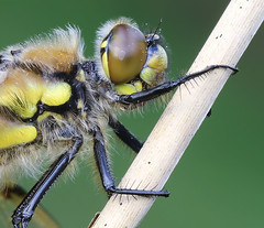 Recently emerged Four-spotted chaser (Roger H3) Tags: insect four dragonfly spotted chaser odonata