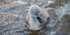 Cygnet (gregchoppen1) Tags: sea baby cute water droplets swan feathers cygnet