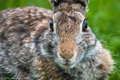 Cottontail (Tom's Macro and Nature Photographs) Tags: portrait bunny animals montana rabbits naturephotography cottontail wildlifephotography